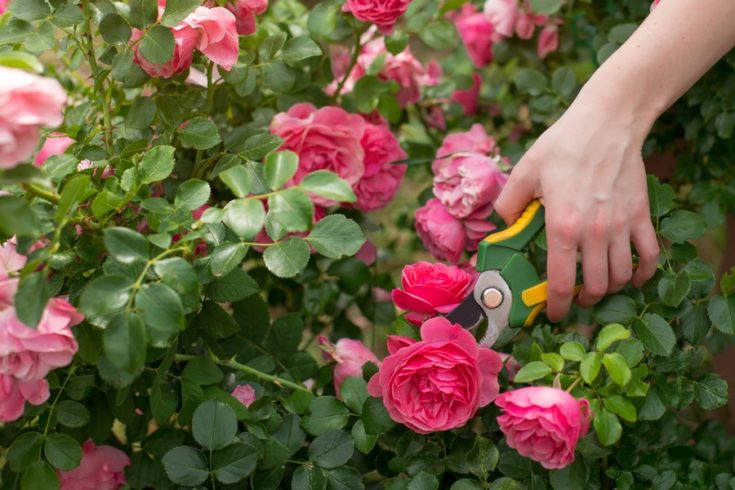 Girl prune the bush (rose) with secateur in the garden, close-up