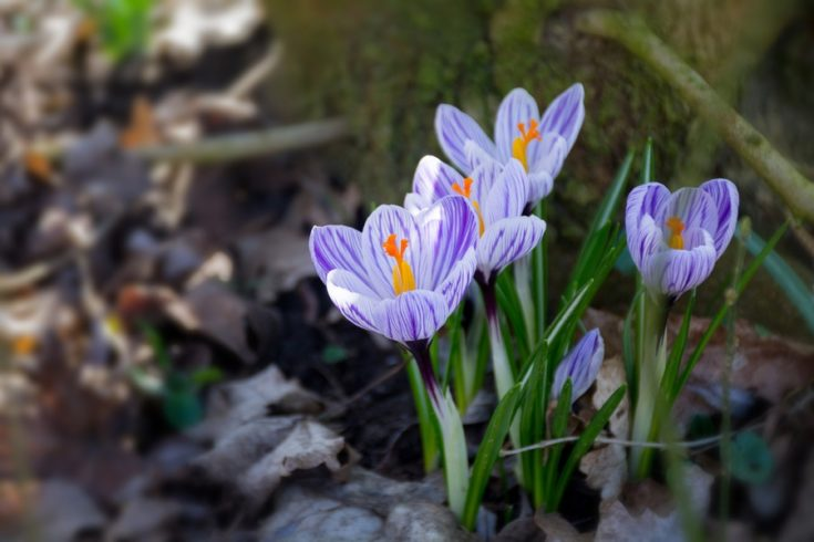 group of crocus flowers in the early spring garden, copy space in the brown background