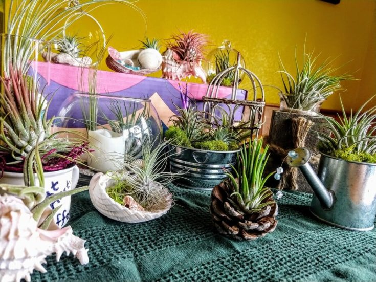 Different kind of air plants planted to tin pots,sea shell and glasses placed in a green cloth covered table.