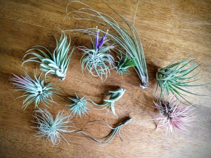 Variety of Air Plant heads on top of wooden table.