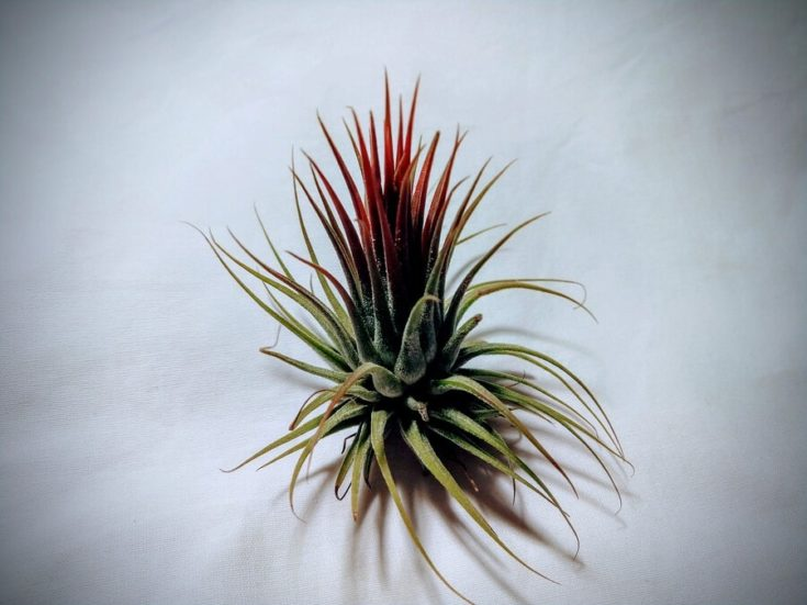 Fuego (Tillandsia ionantha) head layed in a white cloth.