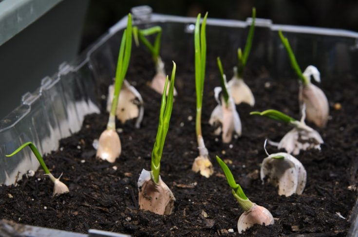 Growing garlic in a small pot