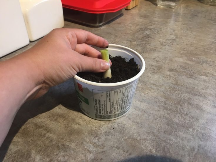 Hand planted the green onion stalk on the small plastic container filled with soil.