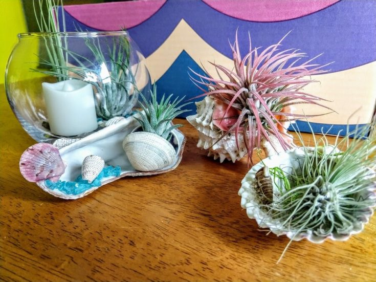 Air plants planted on shells and glass terrarium placed on top of a wooden table.