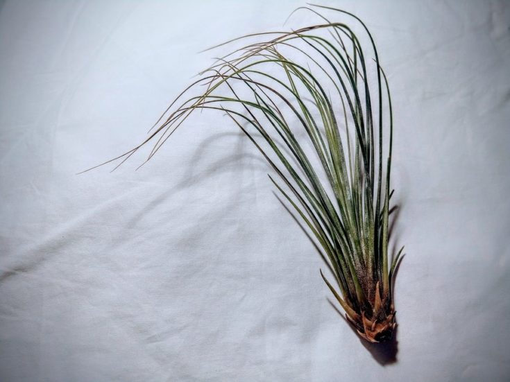Tillandsia Juncea head layed on a white cloth.