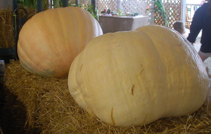 2 giant pumpkin at the top of the hay