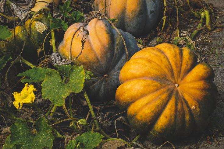 Pumpkins vegetables, leaves and flowers