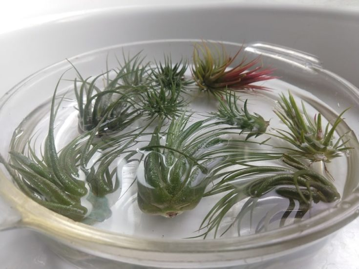 Soaking little air plants with water in a glass bowl.