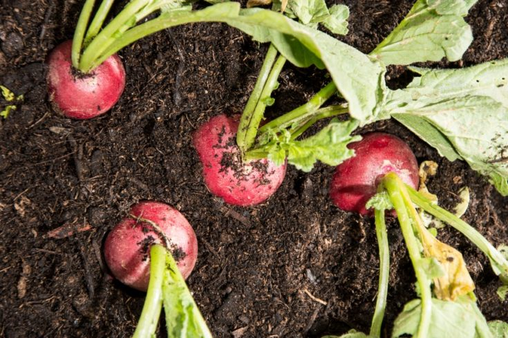 Radish plants in the garden