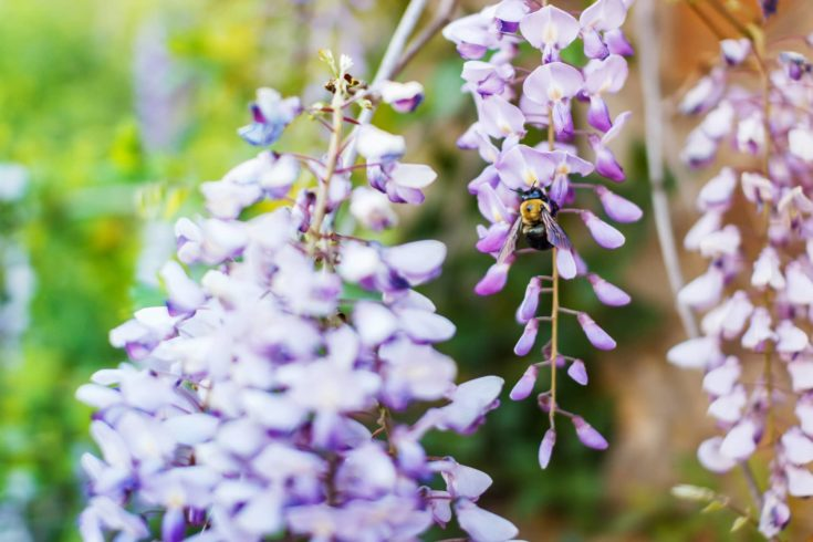 Beautiful blooming wisteria flower selective focus