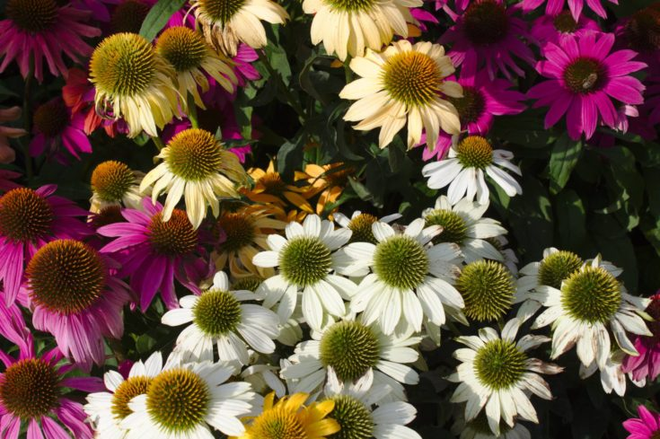 Colorful coneflowers in the garden