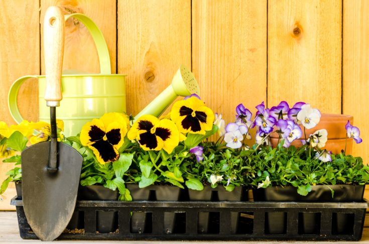 Garden planting with daisies, violas, watering can, trowel, and pots on wood background.