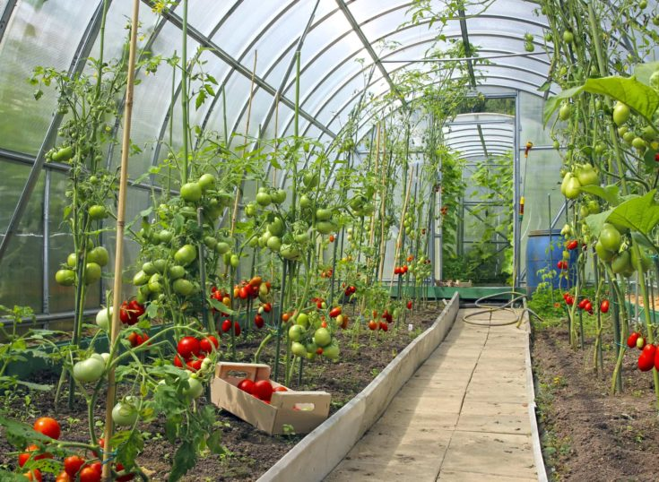 Red and green tomatoes in a greenhouse of transparent polycarbonate