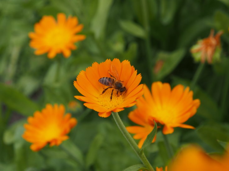 A bee collects nectar from a calendula flower