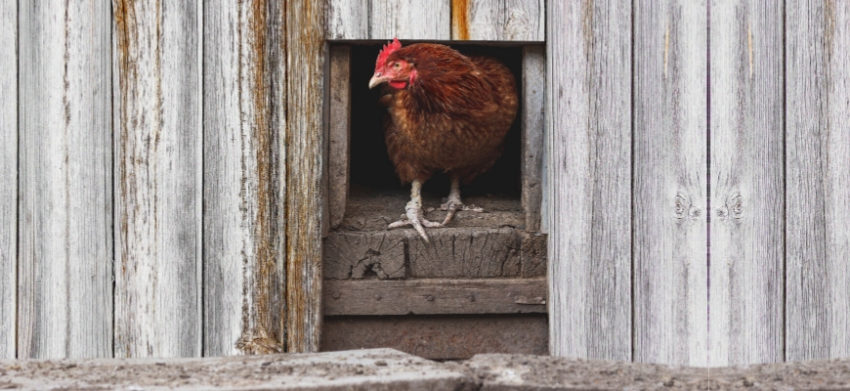 Close up shot of hen coming out from wooden chicken coop.