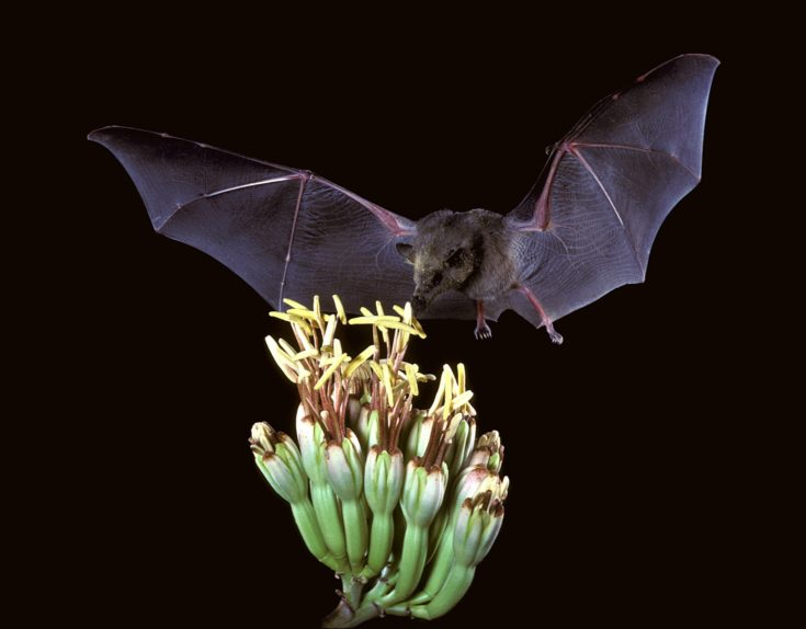Mexican long tongued bat sipping nectar on flower.
