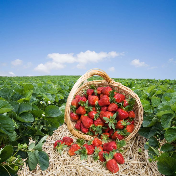 Strawberries in the basket on the green meadow and blye sky background with copy space.