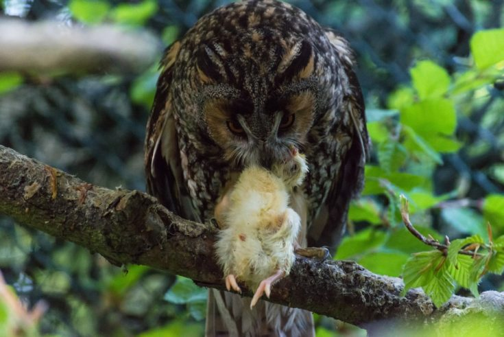 An owl eats a little chick on a branch.