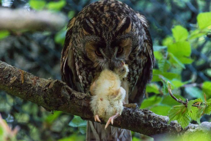 An owl eats a little chick on a branch.