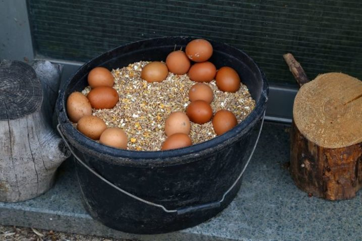 A bucket filled with grains and chicken eggs