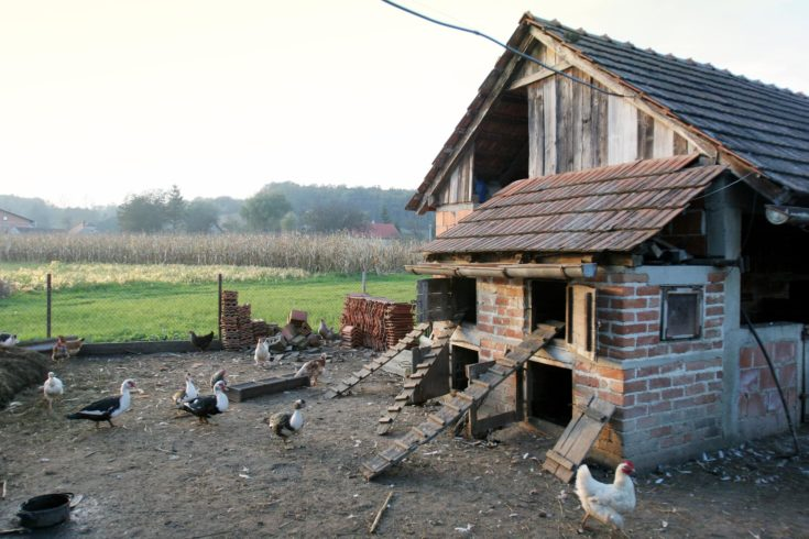 A group of hens, roosters and ducks walking in the yard in front of a hen house.