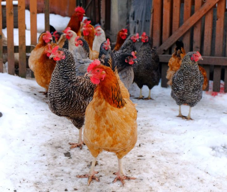 Hens and cock on a barnyard in a winter period