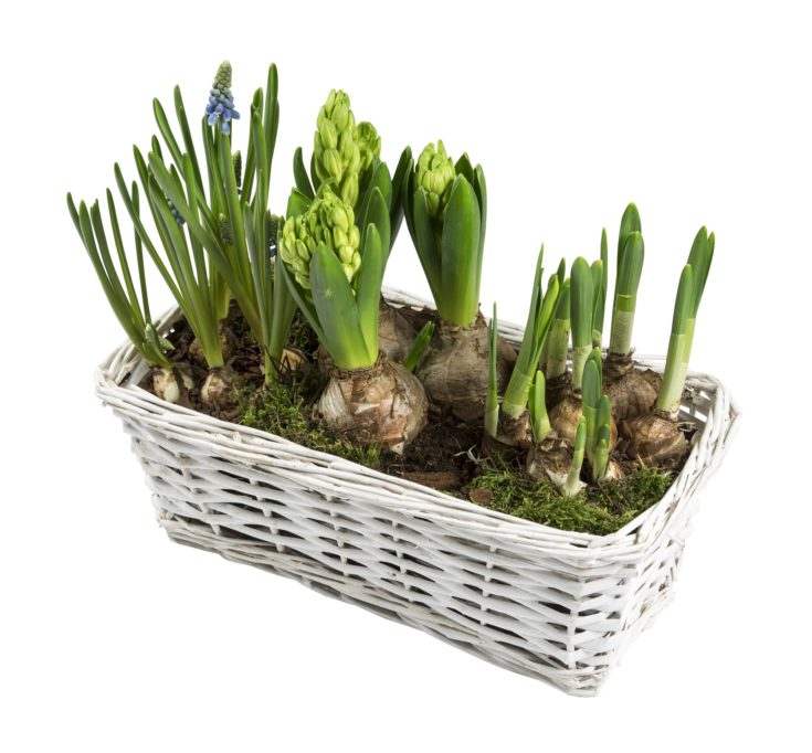 Hyacinths Spring flower seedlings in white wicker basket isolated background. Top down view.