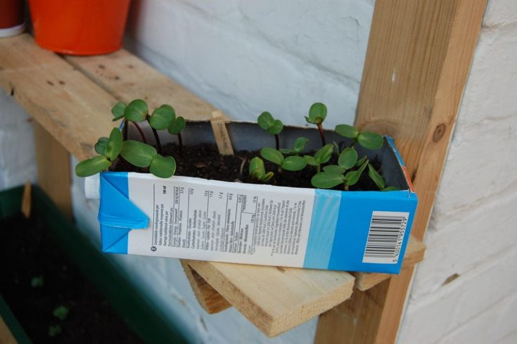 Cardboard milk carton cut and turned into a planter.