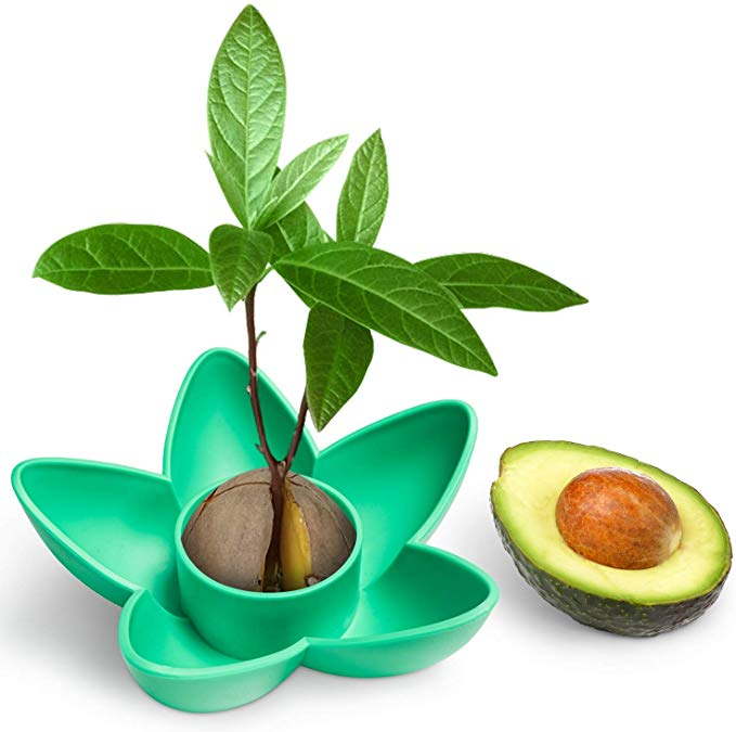 Seed germinators plastic container with avocado seed and seedling.