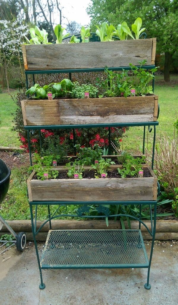 Old wooden fence form into planters planted with vegetables.