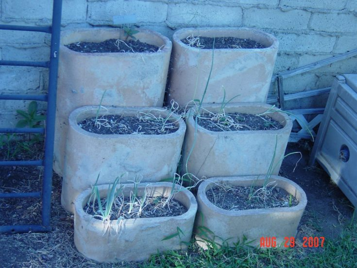 Pots of various sizes and heights planted with onion bulb.
