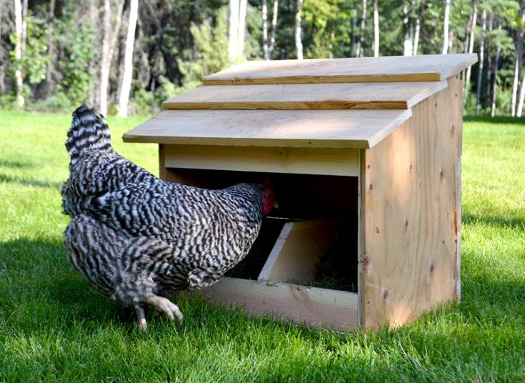 chicken getting inside to the chicken coop on the grass ground