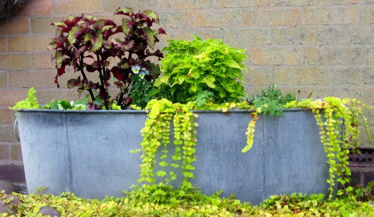 Old stock tanks created as raised garden bed.
