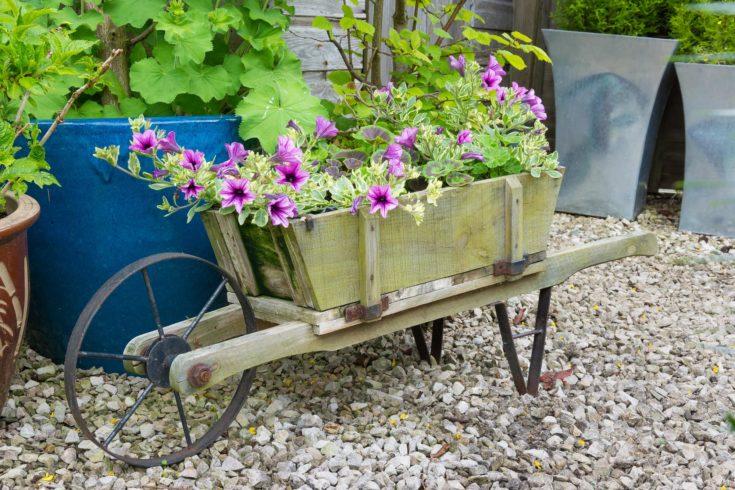 Wooden wheelbarrow containing trailing surfina petunia plants.