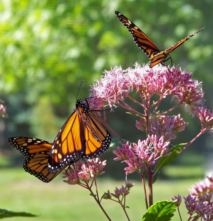 Monarch butterflies collecting nectars on flower.