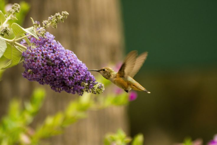 Humming bird sipping nectars on flower.