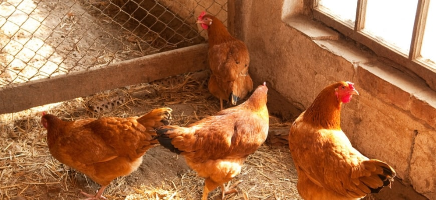 Best Bedding Options For Happy Chickens - 4 chickens on the ground