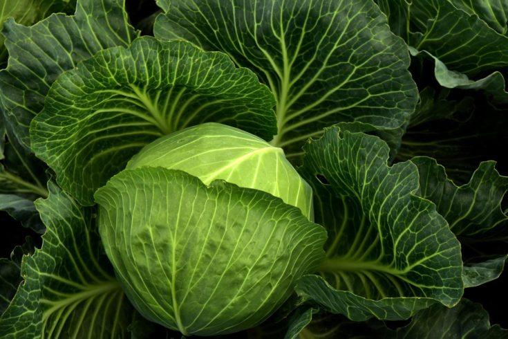 Close up shot of big green cabbage.