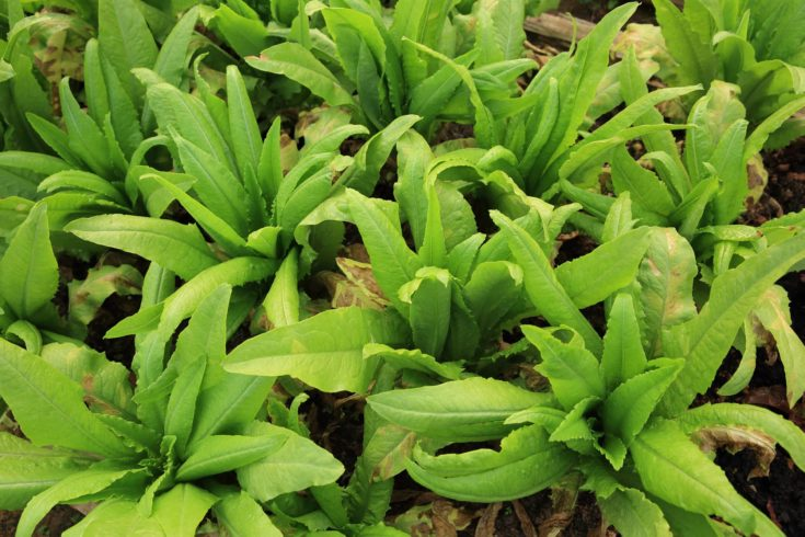 green asparagus lettuce crops in growth at vegetable garden