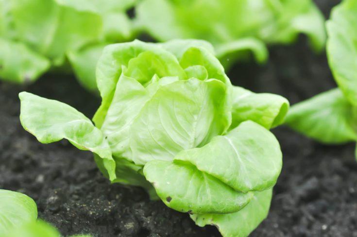 butterhead lettuce or lactuca sativa capitata in vegetable garden