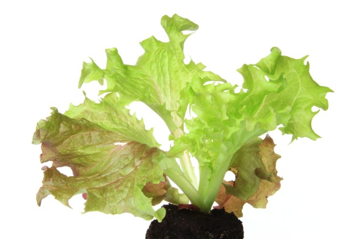 "Salad seedling of leaf lettuce variety ""Lollo Rosso"" (Lactuca sativa var. crispa), isolated inl front of white background"