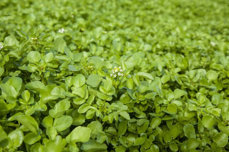 growing watercress, young plants with some shoots starting to flower, food background