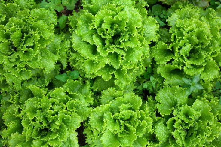 An image of bright fresh green lettuce