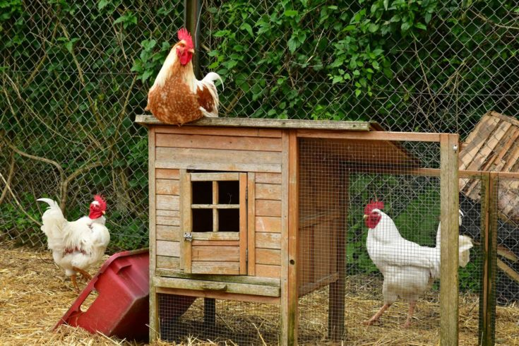 poultry in the Ferme de la Couture with 3 chickens
