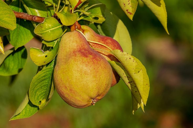 Close up shot of pears hang on thier branch.