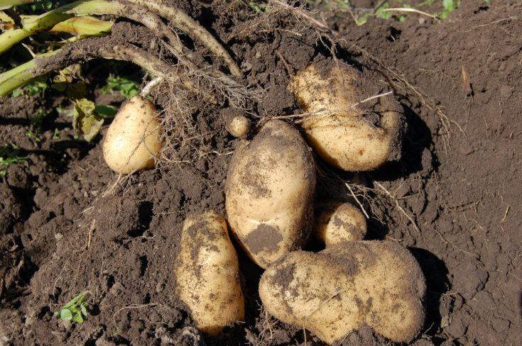 New harvested potatoes on soil.