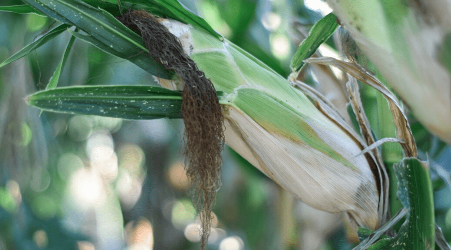 How to Plant, Grow and Harvest Corn at Home - Backyard Boss