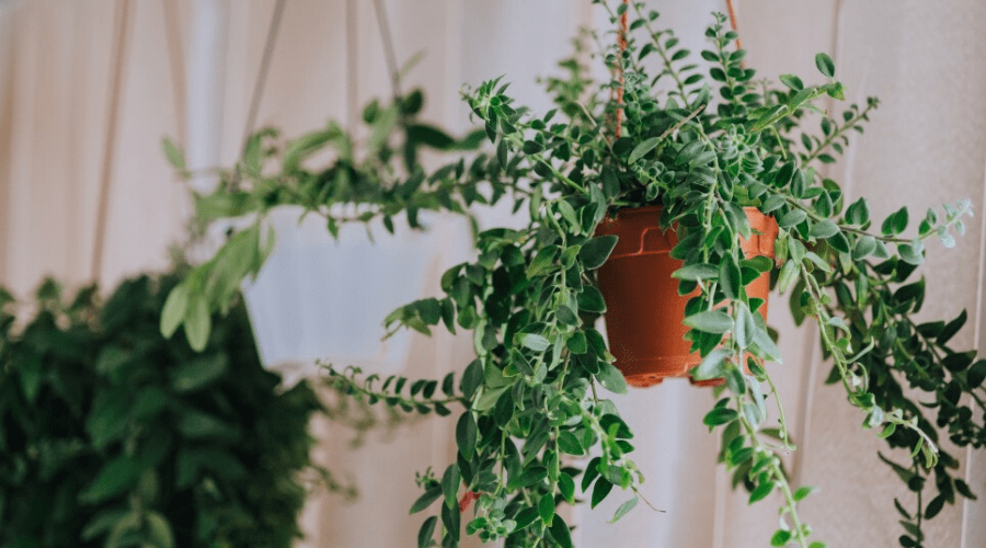 Best Indoor Hanging Plants to Decorate Your Home in 2020