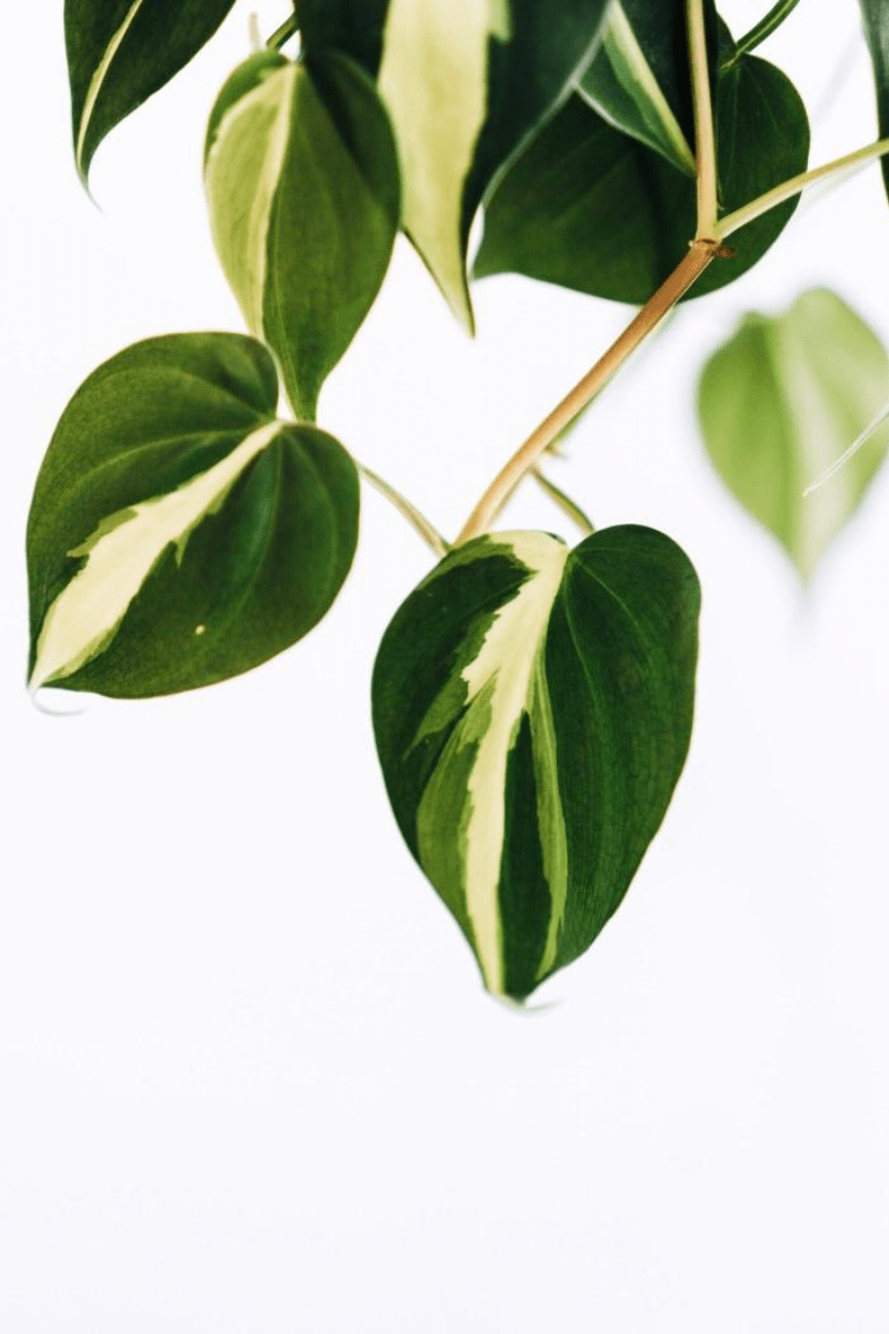 Philodendron Guide: How to Take Care of a Philodendron Plant