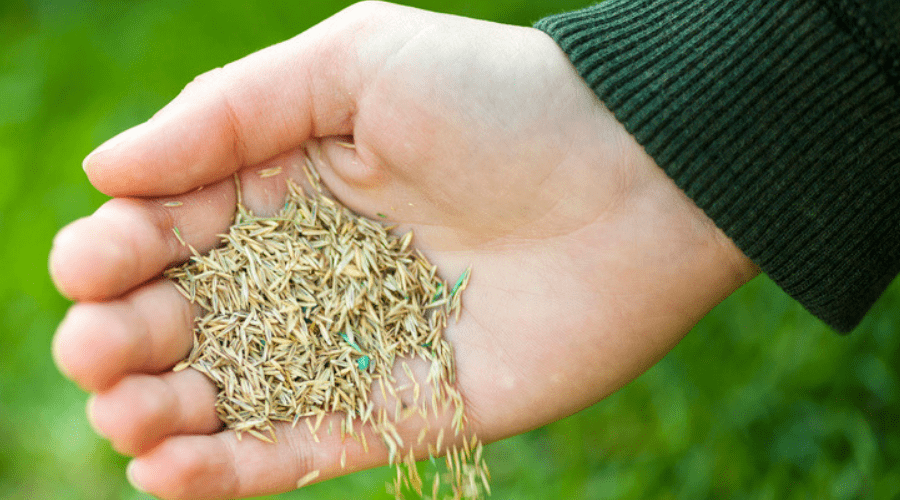 handful of grass seed outdoors